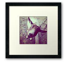 Lola Kate the goat  Framed Print