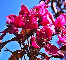 Flowering Crab Apple by kindangel