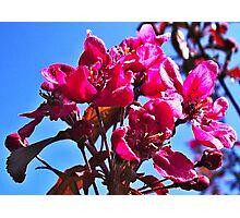 Flowering Crab Apple Photographic Print