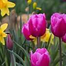 BEAUTIFUL TULIPS AND JONQUILS by Pauline Evans