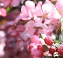 Buds of Blooming Cherry Tree. Sticker