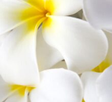 White Plumeria Tropical Frangipani Flowers Sticker