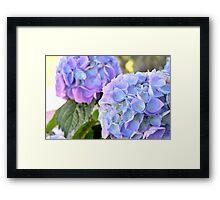 Purple Blue Hydrangeas Framed Print