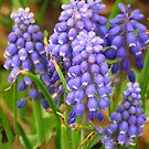 Grape Hyacinths  by lorilee