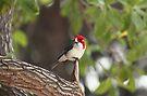 Red cardinal by zumi