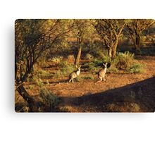 Two Roos Canvas Print