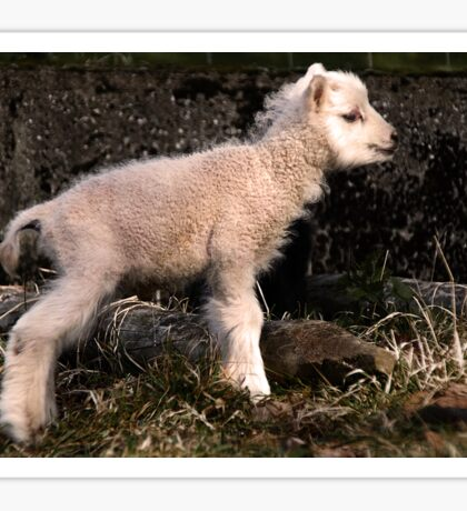 Spring Lamb Sticker