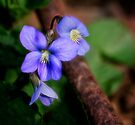 Violets and Rust by Kathy Weaver