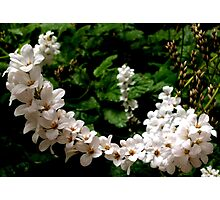 White Blooms Photographic Print
