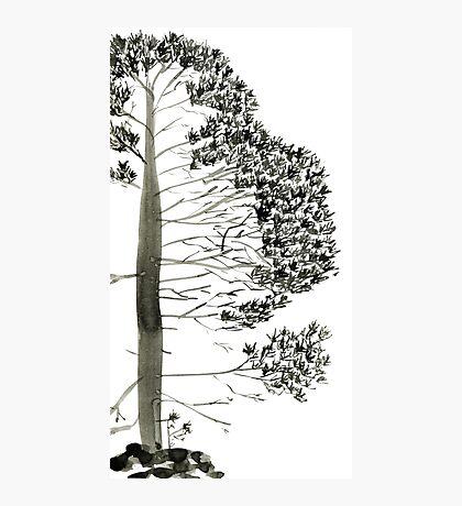 Single Pine, a symbol of longevity Photographic Print