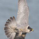 Peregrine Falcon by Ian Hufton