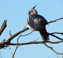 Crested Pigeon by outbackjack