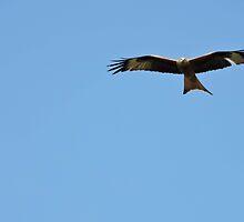Red Kite flying by CreativeEm