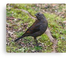 Rusty Blackbird Canvas Print
