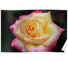 One Colorful Rose Poster