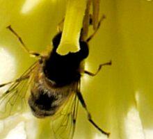 Inside a Golden Daffodil........ Sticker