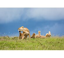 Playful Lions - Africa Photographic Print