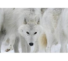 Wolf Stare-Down Photographic Print