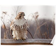 Red Tailed Hawk perched in early spring Poster