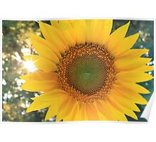 Sunflower with sunburst shining through at sunset Poster