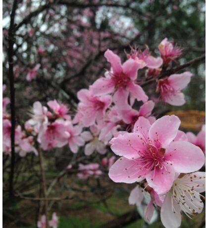 pink flower peach blossom  Sticker