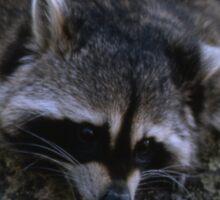 Raccoon Relaxin | Stanleigh and Friends Sticker