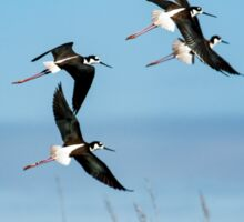Black-necked stilt Sticker