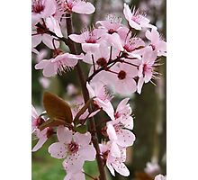 Cherry Plum Blossoms Photographic Print
