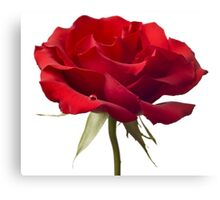 Red Rose Flower Blossom Closeup Isolated on White Background Canvas Print