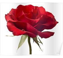 Red Rose Flower Blossom Closeup Isolated on White Background Poster