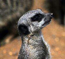 Meercat.com by Karen Harding