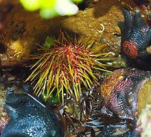 Sea Urchin and Starfish by Sophia Phoenix