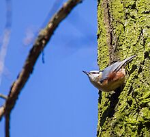 Eurasian Nuthatch by Dominika Aniola