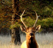 Bull Elk in Montana Sticker