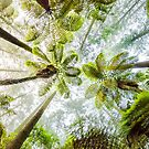 Morning Forest Fog - Redwoods, Whakarewarewa by SeeOneSoul