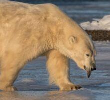 STOCK ~ Raspberry ... Polar Bear Style Sticker