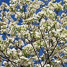 Dogwood Blue Sky by Tracey Hampton