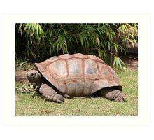 Tortoise 1 Art Print