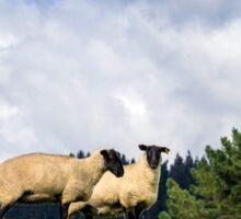 Shy Sheep Sticker