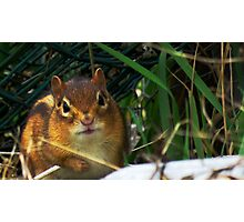 Critters - cute chipmunk (2016) Photographic Print