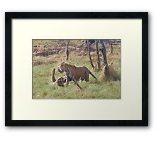 Bengal Tigers Sparring In A Marsh Framed Print