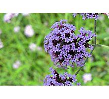 Macro on purple spring flowers. Photographic Print