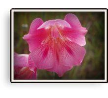 pretty pink aussie wildflower Canvas Print