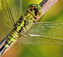 Eastern Pondhawk Sticker