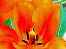 Orange Tulip by FrankieCat