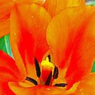 Orange Tulip by Susan S. Kline