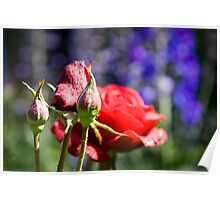Flowering roses and buds. Poster