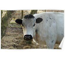 White Cow Portrait Poster