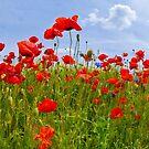 Field of Poppies   panoramic view by Melanie Viola