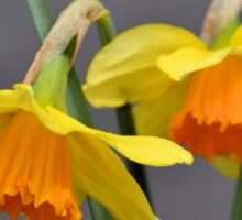 Two Daffodils Against Gray Sticker